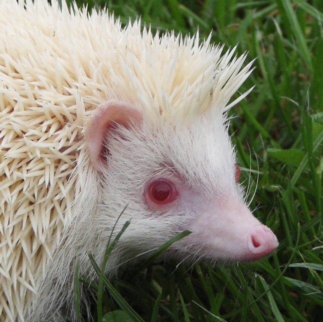 Pin African Pygmy Hedgehog Cage Size Cake on Pinterest