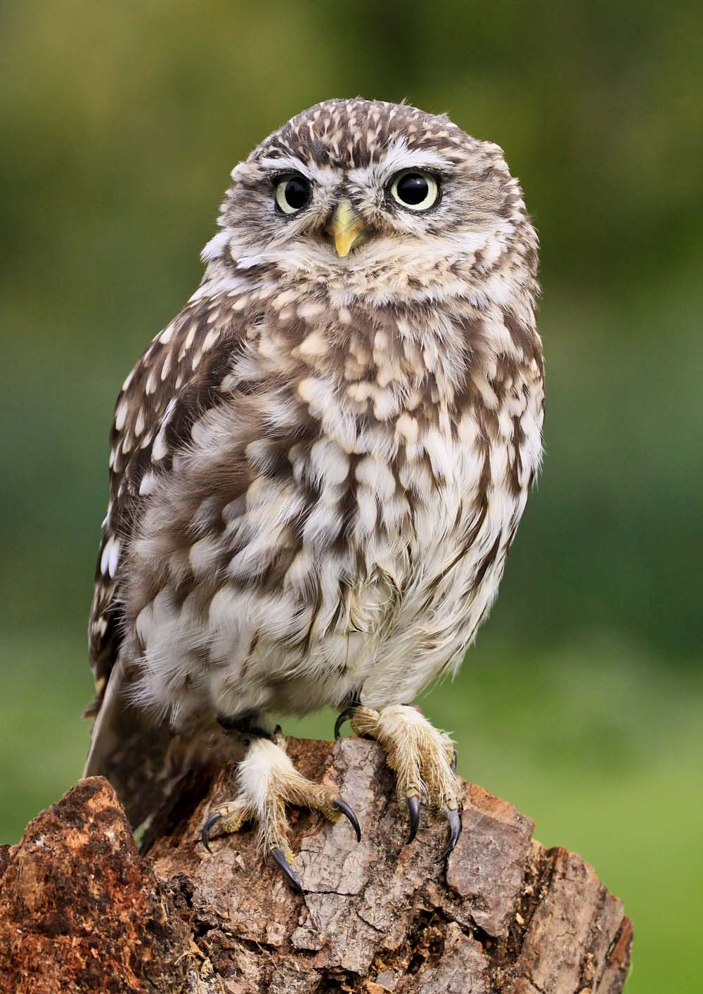 Little Owl  Trevor Hill Birds and Animals